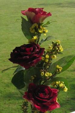 Hocus Pocus Roses