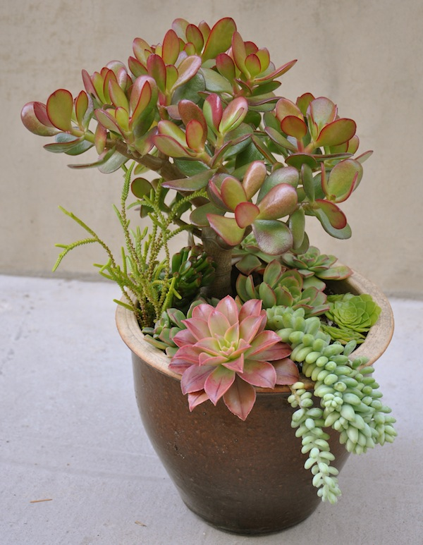 fathers day succulents