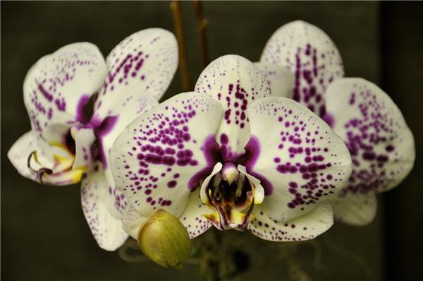 Orchid Plant Closeup