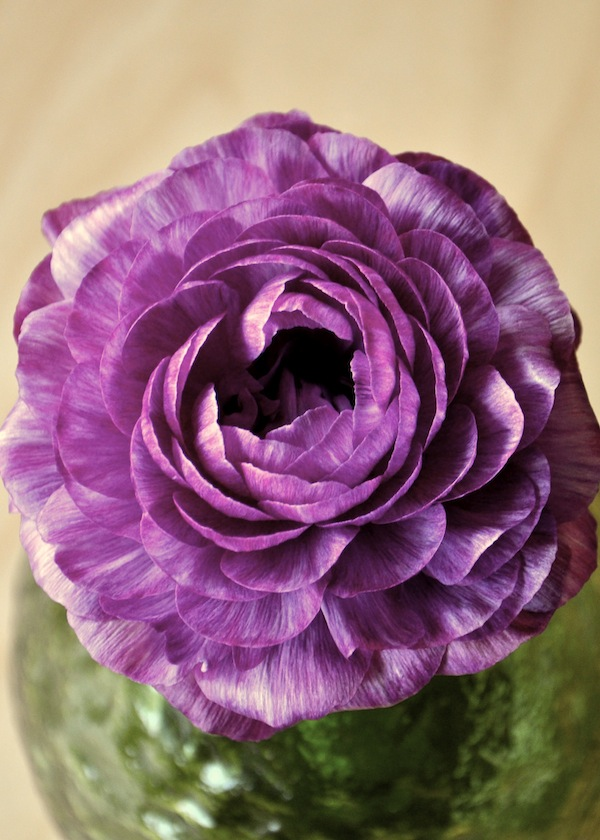 2014 Pantone Color Radiant Orchid in a Ranunculus