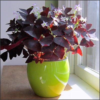 St. Patrick's Day Flowers - Purple Shamrocks
