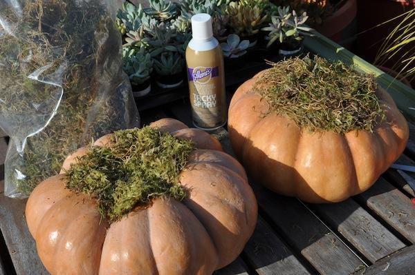 Trim Moss on Pumpkin